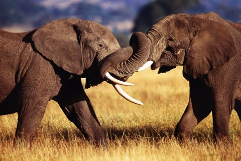 Framed African Elephants Sparring Print