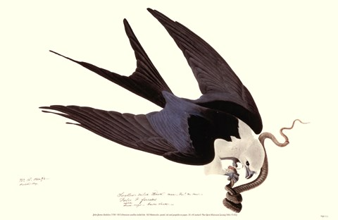 Framed American Swallow-Tailed Kite Print