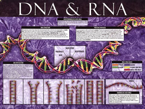 Framed Dna And Rna Print