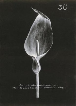 Framed Cala Lily Print
