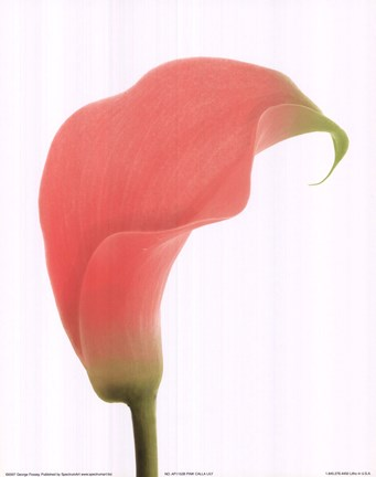 Framed Pink Calla Lily Print