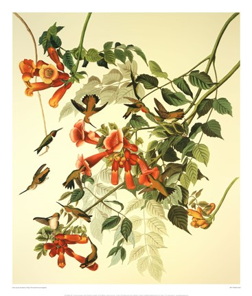 Framed Ruby-Throated Hummingbird Print