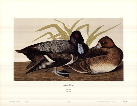 Framed Scaup Duck Print