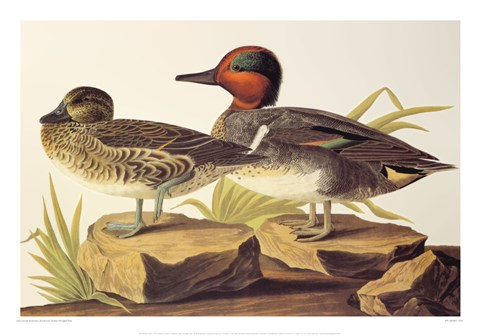 Framed American Green Winged Teal Print