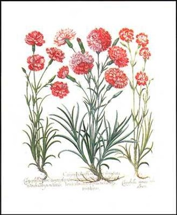Framed Carnations II Print