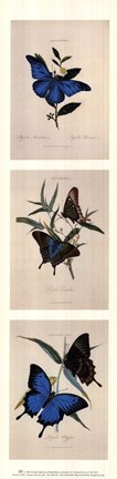 Framed American museum of natural history - Butterflies lll Print