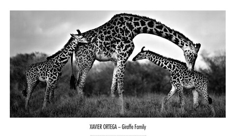 Framed Giraffe Family Print