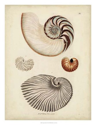 Framed Antique Nautilus II Print