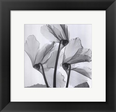 Framed Cyclamen Study No.1 Print