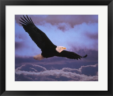 Framed Bald Eagle In Flight Print