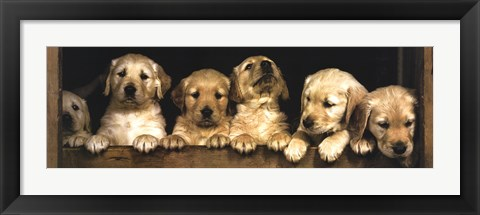 Framed Golden Retriever Puppies Print
