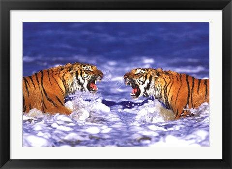 Framed Bengal Tigers Roaring Print