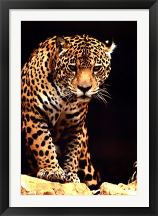 Framed Leopard - photo Print