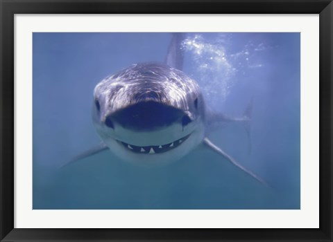 Framed Great White Shark Smiling Print