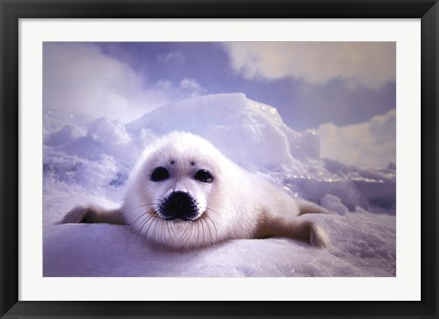 Framed Seal Pup Print