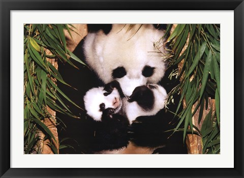 Framed Panda Mother And Baby Print