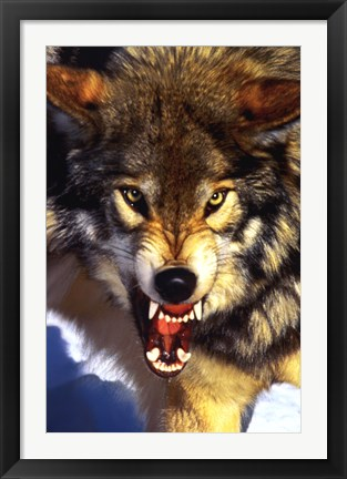 Framed Grey Wolf - Close-Up Print