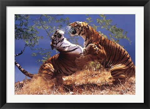 Framed Tigers Fighting Print