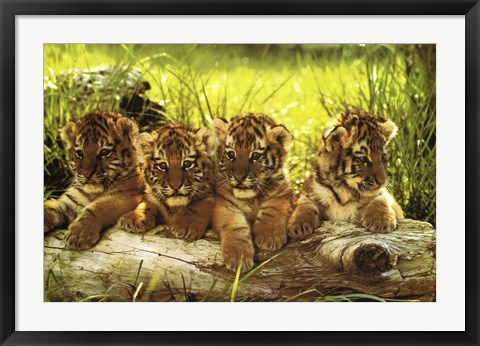 Framed Baby Tiger Print