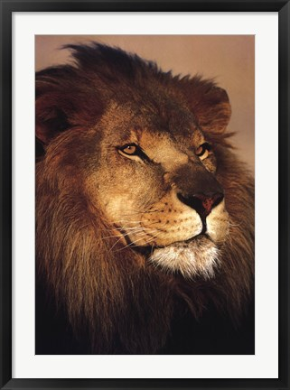 Framed African Lion Print