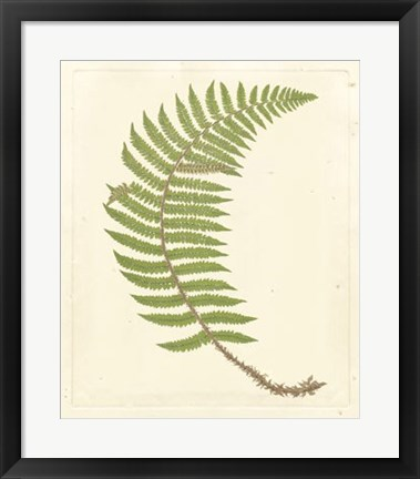 Framed Broad Buckler Fern Print