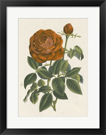 Framed Chinese Red Rose II Print