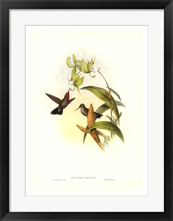 Framed Hummingbird IV Print