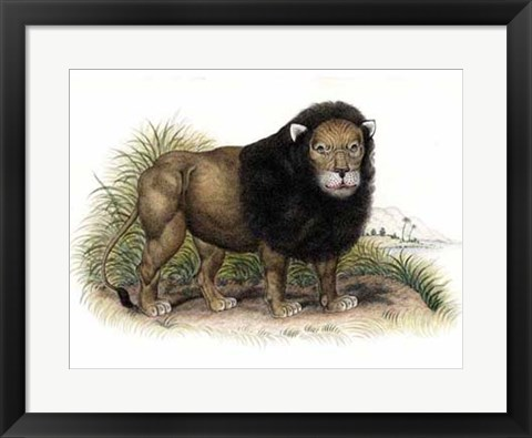 Framed Lion from India I I Print