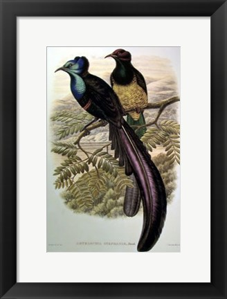Framed Bird of Paradise I Print