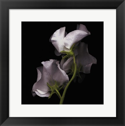 Framed Sweet Pea Print
