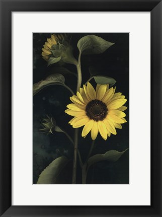 Framed Two Sunflower Stems Print