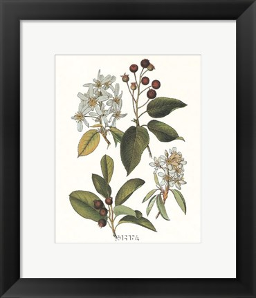 Framed Shad Bush Print