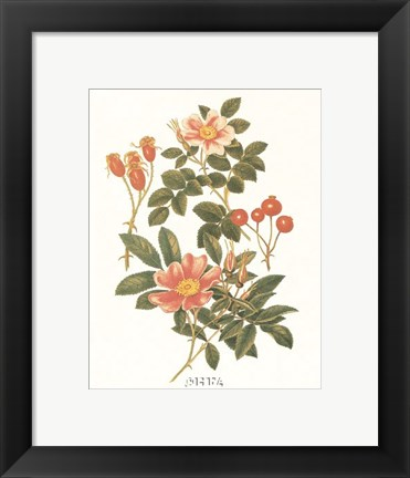 Framed Sweet Briar Print