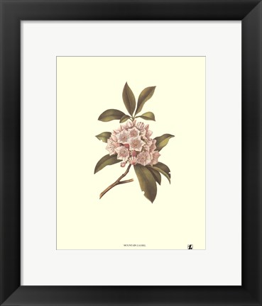 Framed Mountain Laurel Print