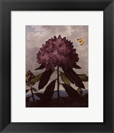 Framed Pontic Rhododendron Print