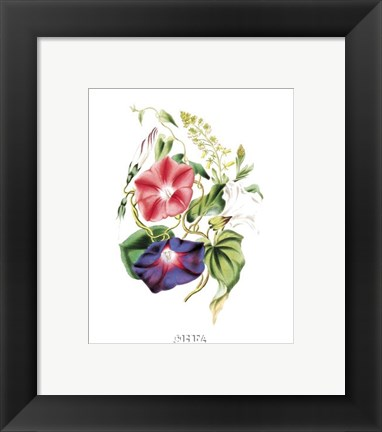 Framed Flowers (Untitled) - Morning Glory Print