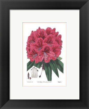 Framed Rhododendron No. 2 Print