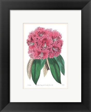 Framed Rhododendron No. 3 Print