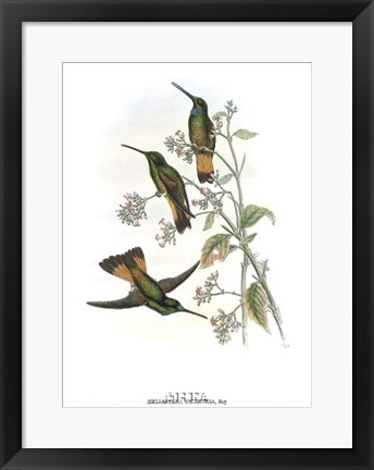 Framed Helianthea Dichroura/Hummingbirds Print