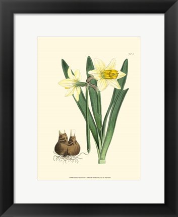 Framed Yellow Narcissus II Print