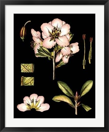 Framed Black Background Floral Studies II Print