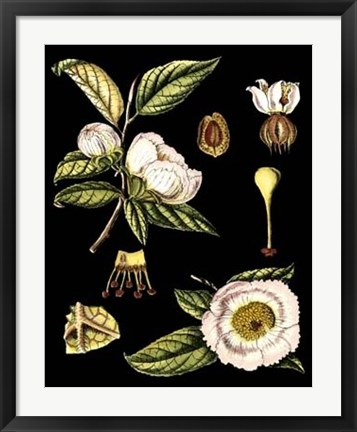 Framed Black Background Floral Studies III Print