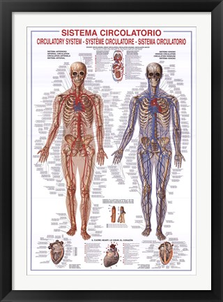 Framed Circulatory System Print