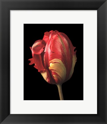 Framed Tulipa Orange Flame Print