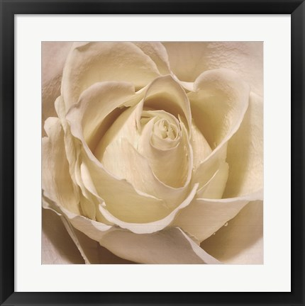 Framed White Rose Print
