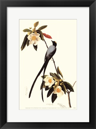 Framed Fork-Tailed Flycatcher Print