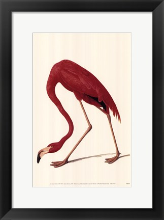 Framed Greater Flamingo Print