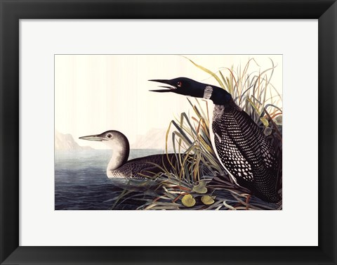 Framed Common Loon Print