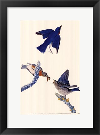 Framed Eastern Bluebird Print