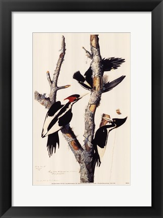 Framed Ivory-Billed Woodpecker Print